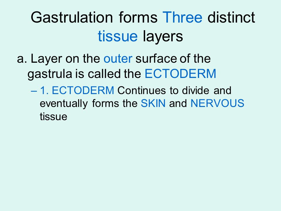 Gastrulation forms Three distinct tissue layers a. Layer on the outer surface of the gastrula is called the ECTODERM –1. ECTODERM Continues to divide
