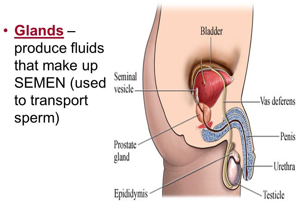 Glands – produce fluids that make up SEMEN (used to transport sperm)