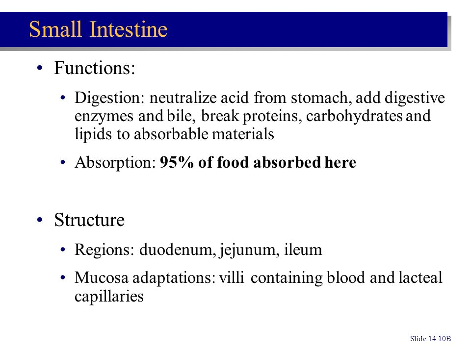 Slide 14.10B Small Intestine Functions: Digestion: neutralize acid from stomach, add digestive enzymes and bile, break proteins, carbohydrates and lip
