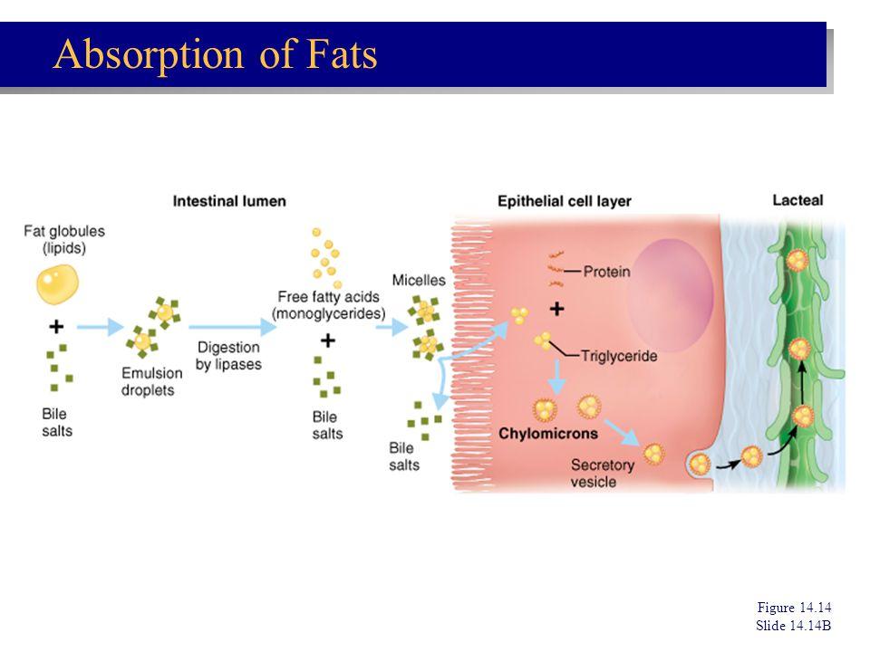 Figure 14.14 Slide 14.14B Absorption of Fats