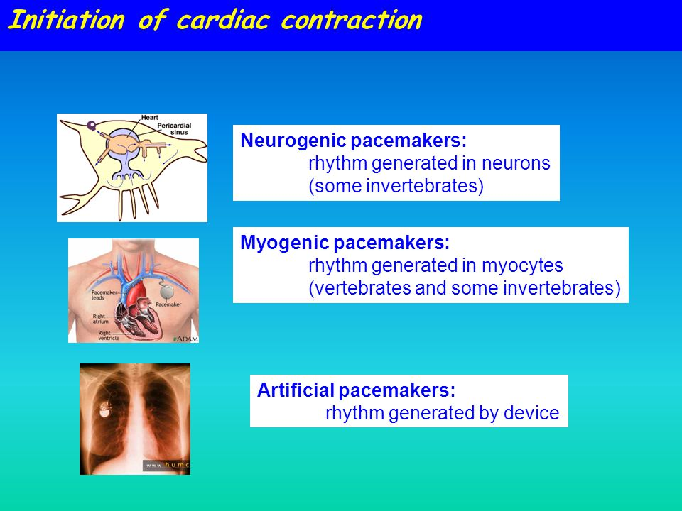 Initiation of cardiac contraction Neurogenic pacemakers: rhythm generated in neurons (some invertebrates) Myogenic pacemakers: rhythm generated in myocytes (vertebrates and some invertebrates) Artificial pacemakers: rhythm generated by device