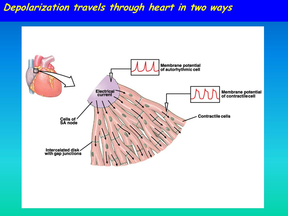 Depolarization travels through heart in two ways