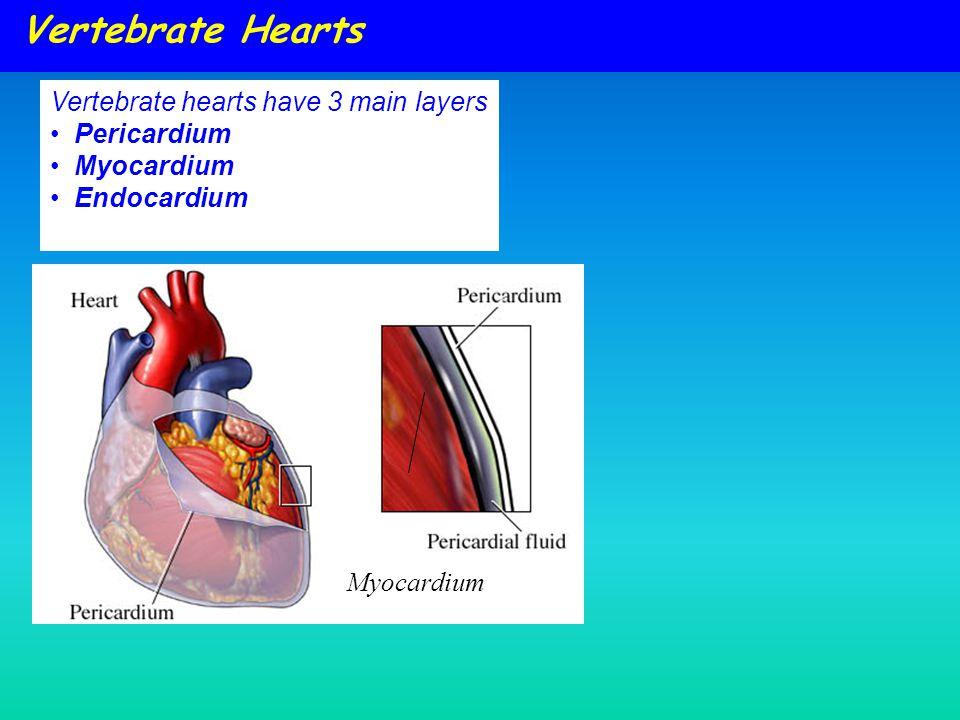 Vertebrate Hearts Vertebrate hearts have 3 main layers Pericardium Myocardium Endocardium Myocardium