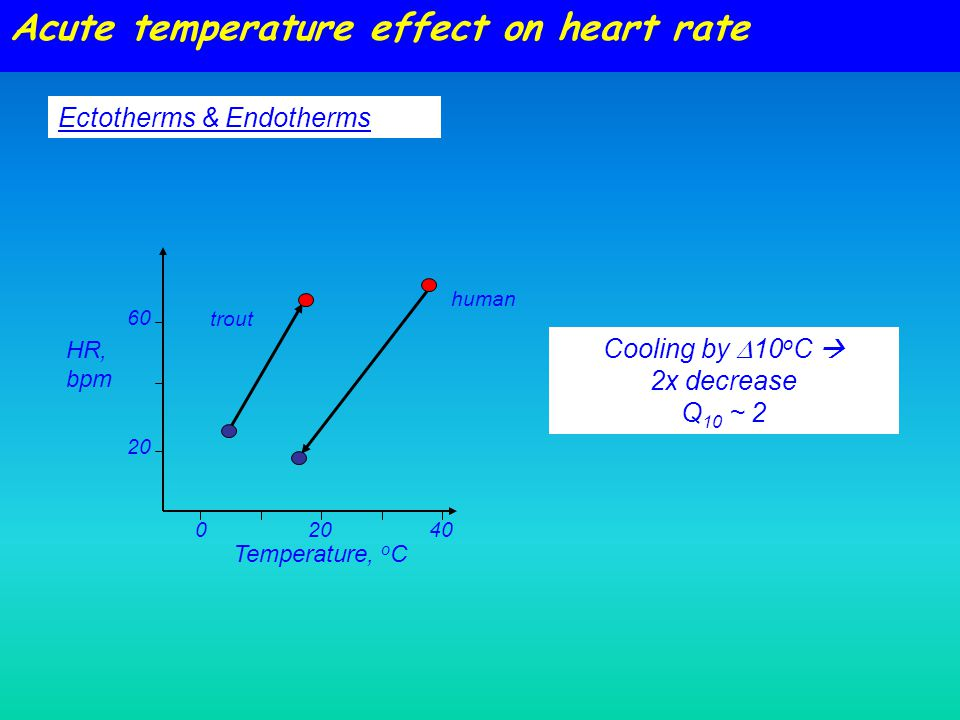 Acute temperature effect on heart rate HR, bpm Temperature, o C 04020 60 20 Ectotherms & Endotherms Cooling by  10 o C  2x decrease Q 10 ~ 2 human trout