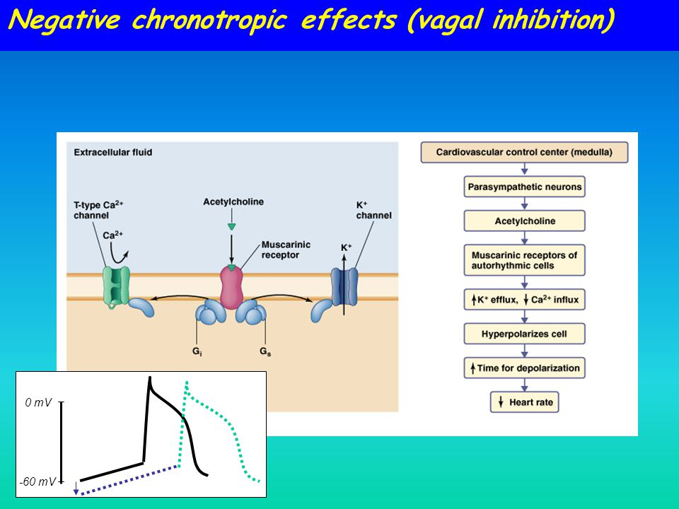 Negative chronotropic effects (vagal inhibition) 0 mV -60 mV