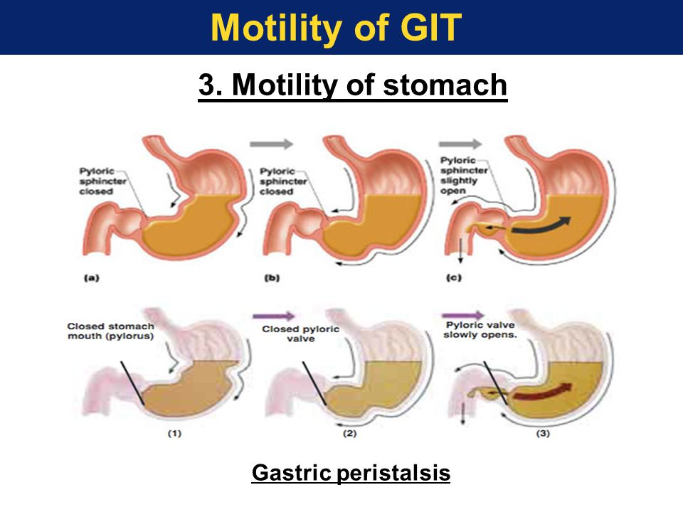 3. Motility of stomach Gastric peristalsis Motility of GIT