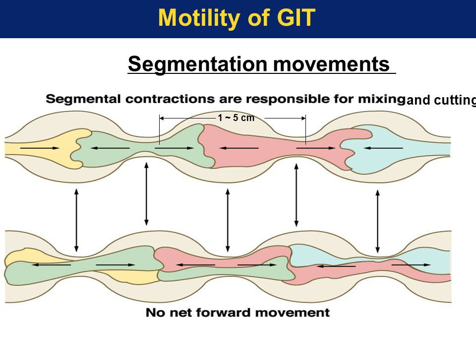 1 ~ 5 cm and cutting Segmentation movements