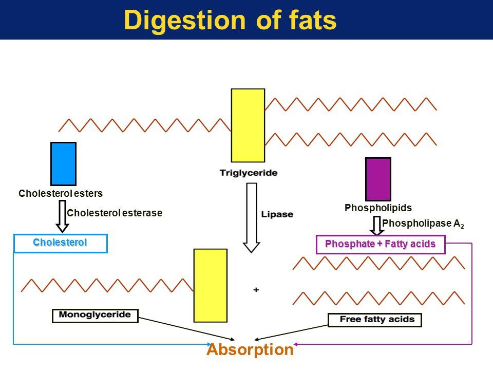 Digestion of fats Phospholipase A 2 Cholesterol esters Cholesterol esterase Cholesterol Phospholipids Phosphate + Fatty acids Absorption