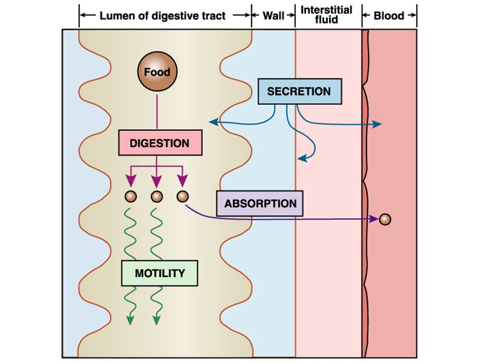Liver Functions of the Liver: 1) Metabolic regulation Store absorbed nutrients, vitamins Release nutrients as needed 2) Hematological regulation Plasma protein production Remove old RBCs 3) Production of bile Required for fat digestion and absorption