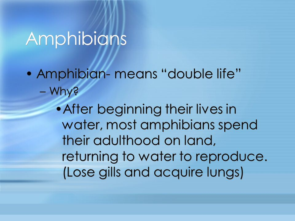 """Amphibians Amphibian- means """"double life"""" –Why? After beginning their lives in water, most amphibians spend their adulthood on land, returning to wate"""
