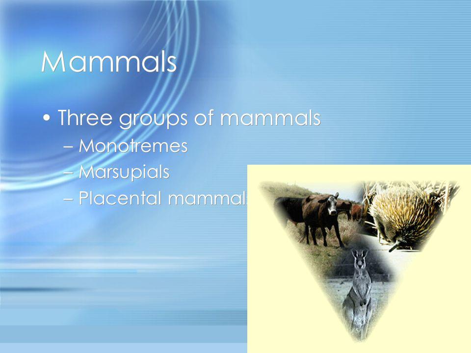 Mammals Three groups of mammals –Monotremes –Marsupials –Placental mammals Three groups of mammals –M–Monotremes –M–Marsupials –P–Placental mammals