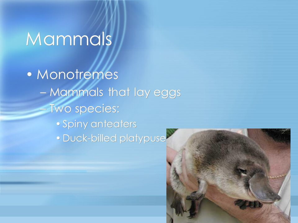 Mammals Monotremes –Mammals that lay eggs –Two species: Spiny anteaters Duck-billed platypuses Monotremes –Mammals that lay eggs –Two species: Spiny anteaters Duck-billed platypuses