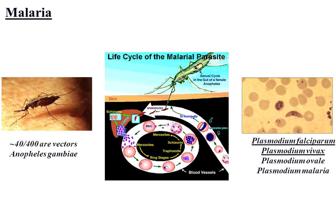 Malaria ~40/400 are vectors Anopheles gambiae Plasmodium falciparum Plasmodium vivax Plasmodium ovale Plasmodium malaria