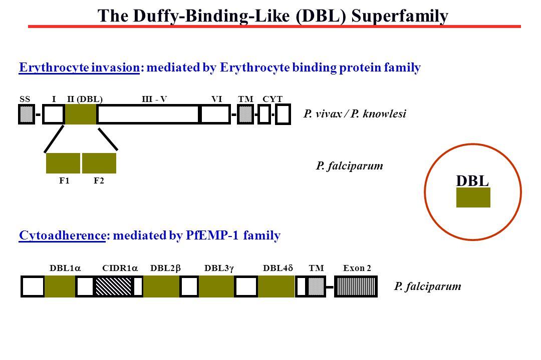 The Duffy-Binding-Like (DBL) Superfamily SSTMIIII - VVICYTII (DBL) F1F2 P. vivax / P. knowlesi P. falciparum DBL1  DBL2  DBL3  DBL4  CIDR1  Exon