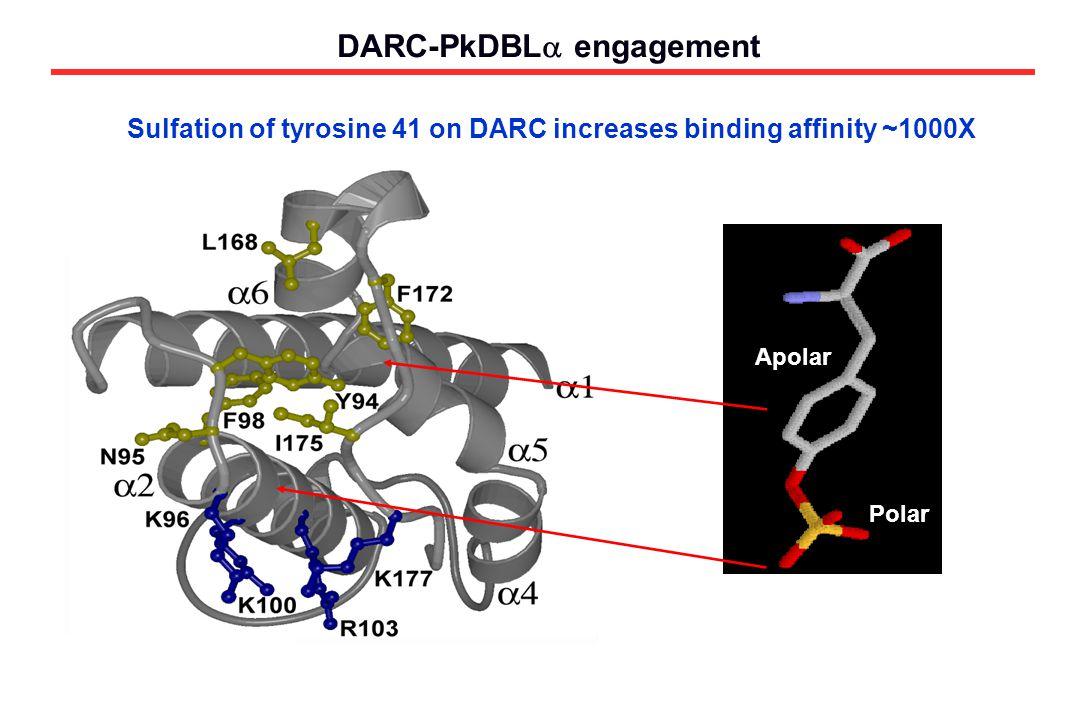 DARC-PkDBL  engagement Polar Sulfation of tyrosine 41 on DARC increases binding affinity ~1000X Apolar Polar