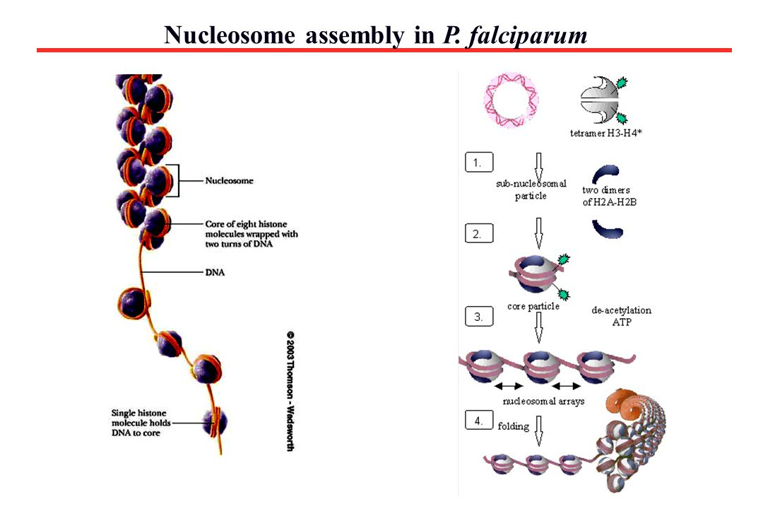 Nucleosome assembly in P. falciparum Importance