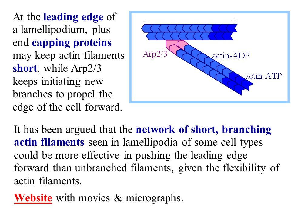 It has been argued that the network of short, branching actin filaments seen in lamellipodia of some cell types could be more effective in pushing the