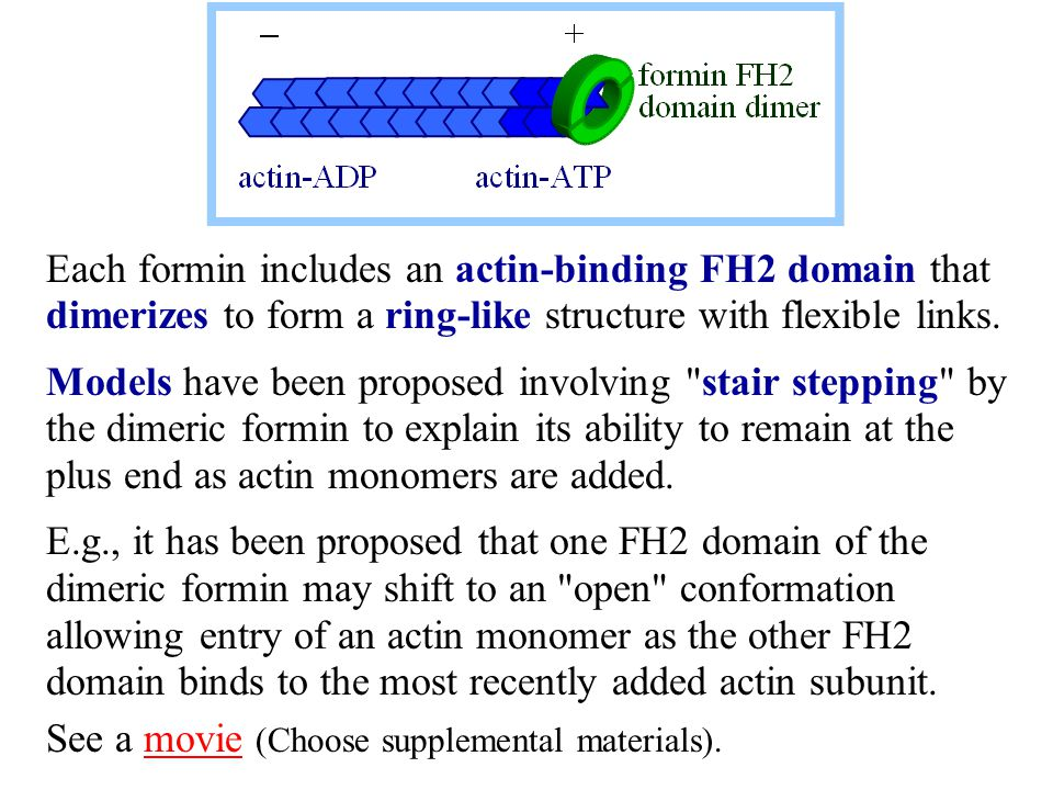 Each formin includes an actin-binding FH2 domain that dimerizes to form a ring-like structure with flexible links. Models have been proposed involving