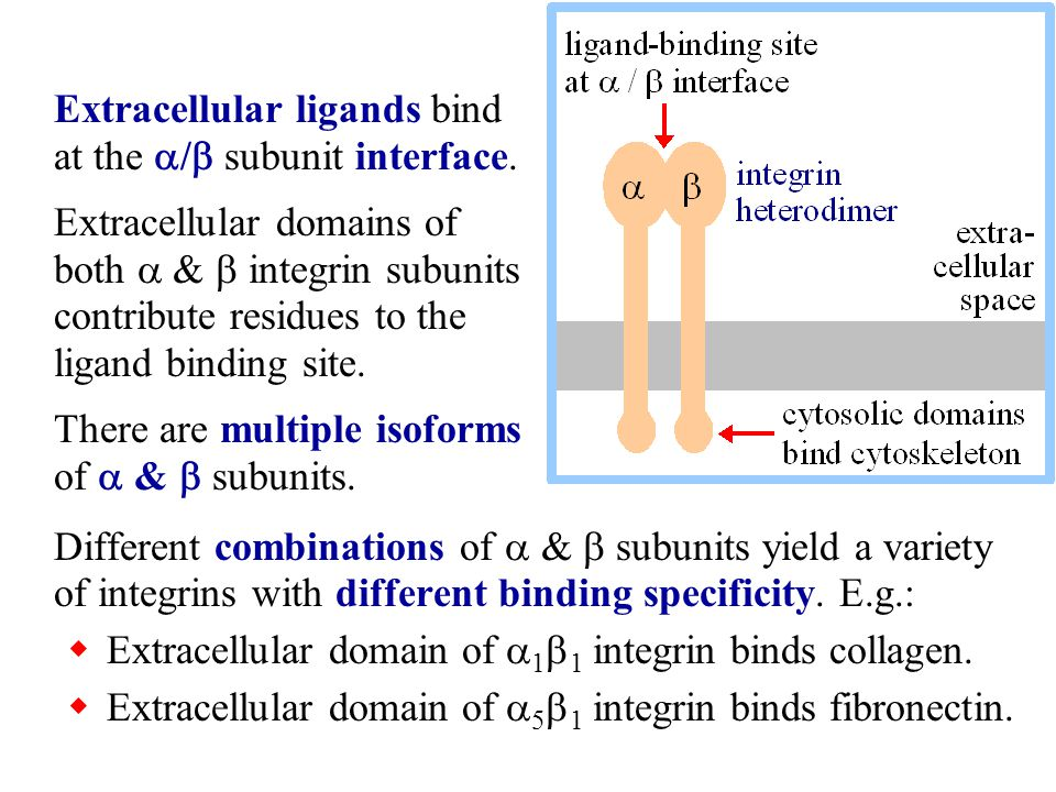 Different combinations of  &  subunits yield a variety of integrins with different binding specificity. E.g.:  Extracellular domain of  1  1 inte