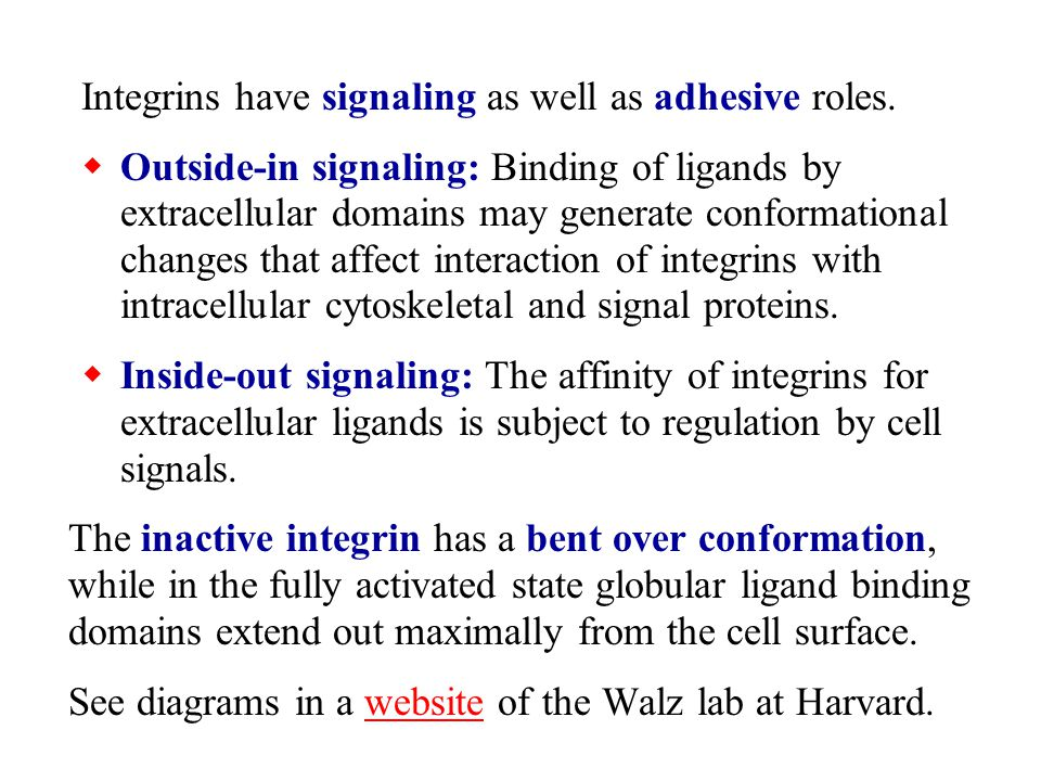 Integrins have signaling as well as adhesive roles.  Outside-in signaling: Binding of ligands by extracellular domains may generate conformational ch