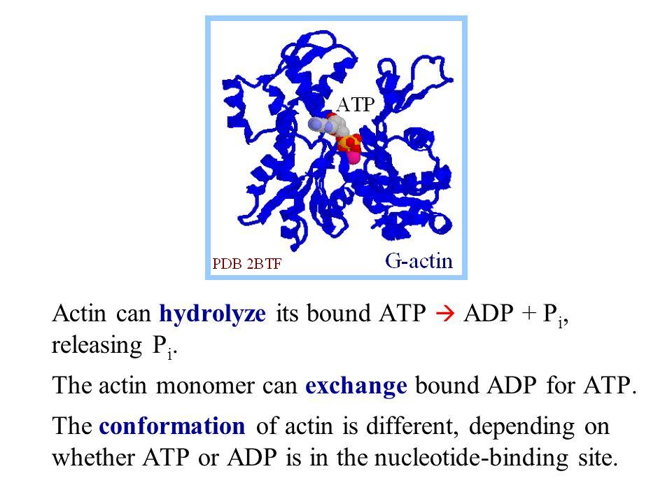 G-actin (globular actin), with bound ATP, can polymerize to form F-actin (filamentous).