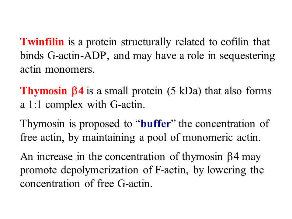 Twinfilin is a protein structurally related to cofilin that binds G-actin-ADP, and may have a role in sequestering actin monomers. Thymosin  4 is a s