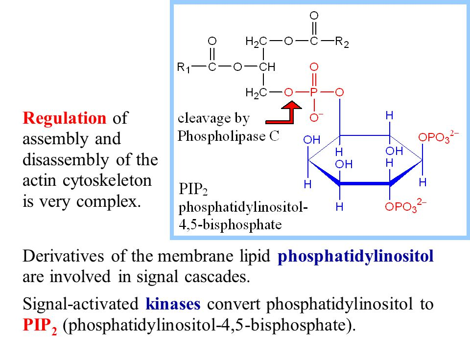 Derivatives of the membrane lipid phosphatidylinositol are involved in signal cascades. Signal-activated kinases convert phosphatidylinositol to PIP 2