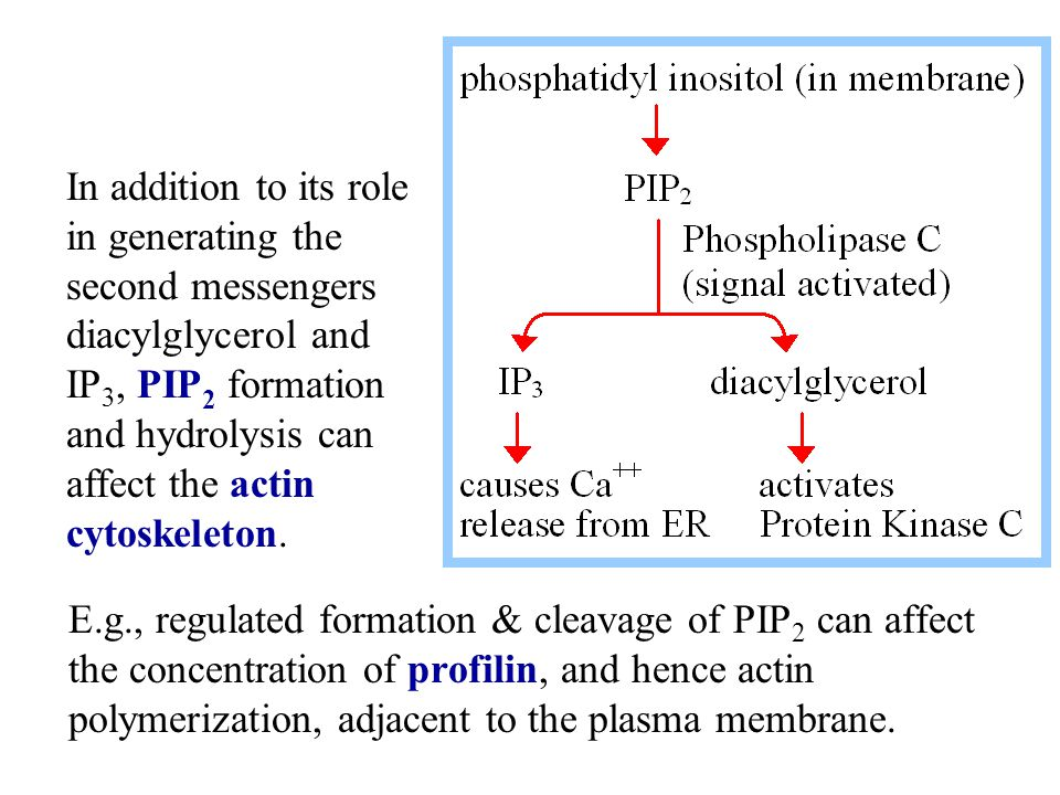 E.g., regulated formation & cleavage of PIP 2 can affect the concentration of profilin, and hence actin polymerization, adjacent to the plasma membran