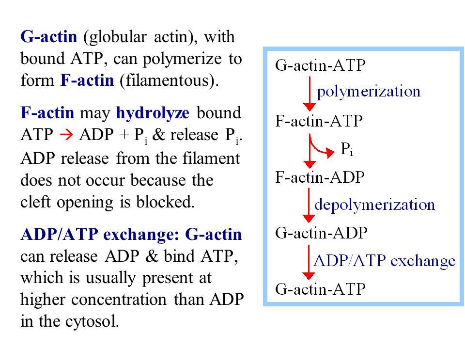 Actin filaments have polarity.