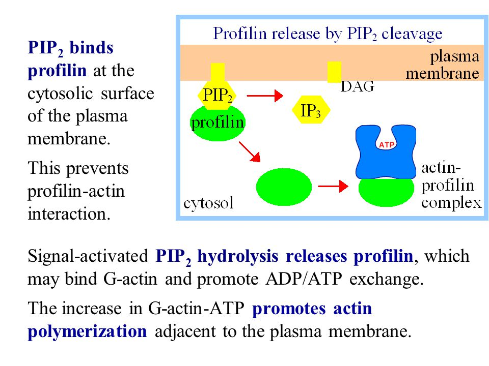 Signal-activated PIP 2 hydrolysis releases profilin, which may bind G-actin and promote ADP/ATP exchange. The increase in G-actin-ATP promotes actin p
