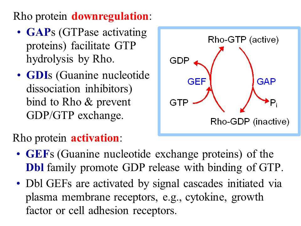 Rho protein activation: GEFs (Guanine nucleotide exchange proteins) of the Dbl family promote GDP release with binding of GTP. Dbl GEFs are activated