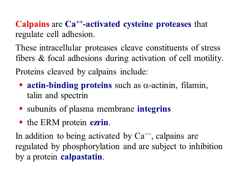 Calpains are Ca ++ -activated cysteine proteases that regulate cell adhesion. These intracellular proteases cleave constituents of stress fibers & foc