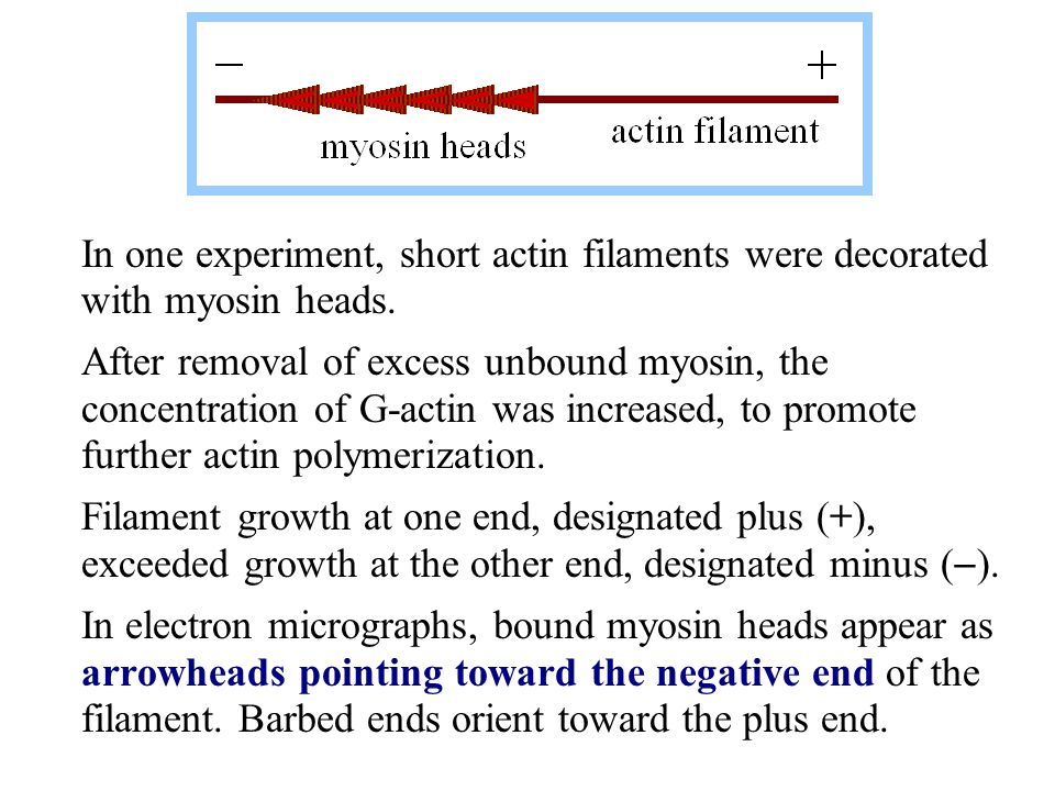 Actin filaments may undergo treadmilling, in which filament length remains approximately constant, while actin monomers add at the (+) end and dissociate from the (  ) end.
