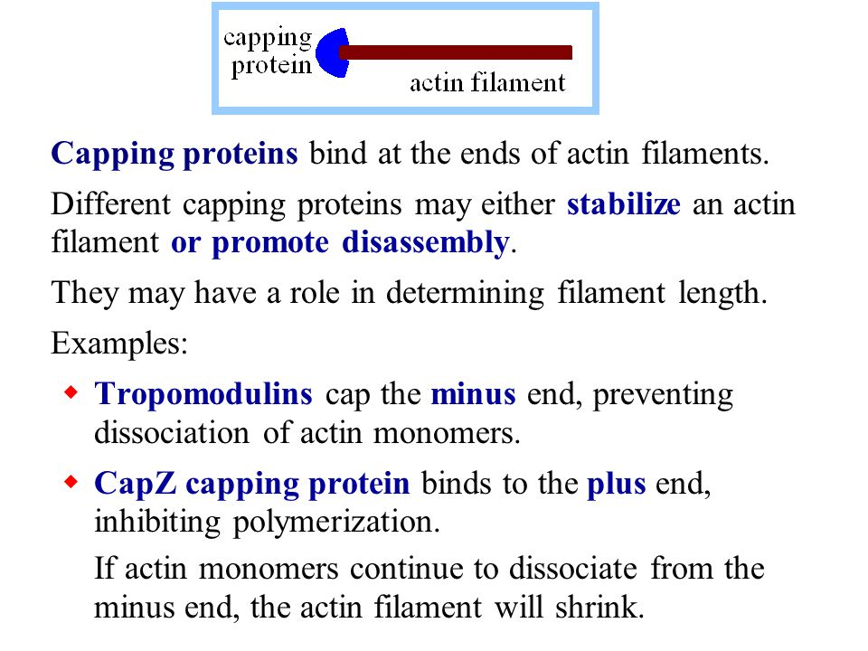 Further back from the leading edge, actin-destabilizing proteins, e.g., cofilin & gelsolin (to be discussed), would promote loss of actin monomers from the minus end.
