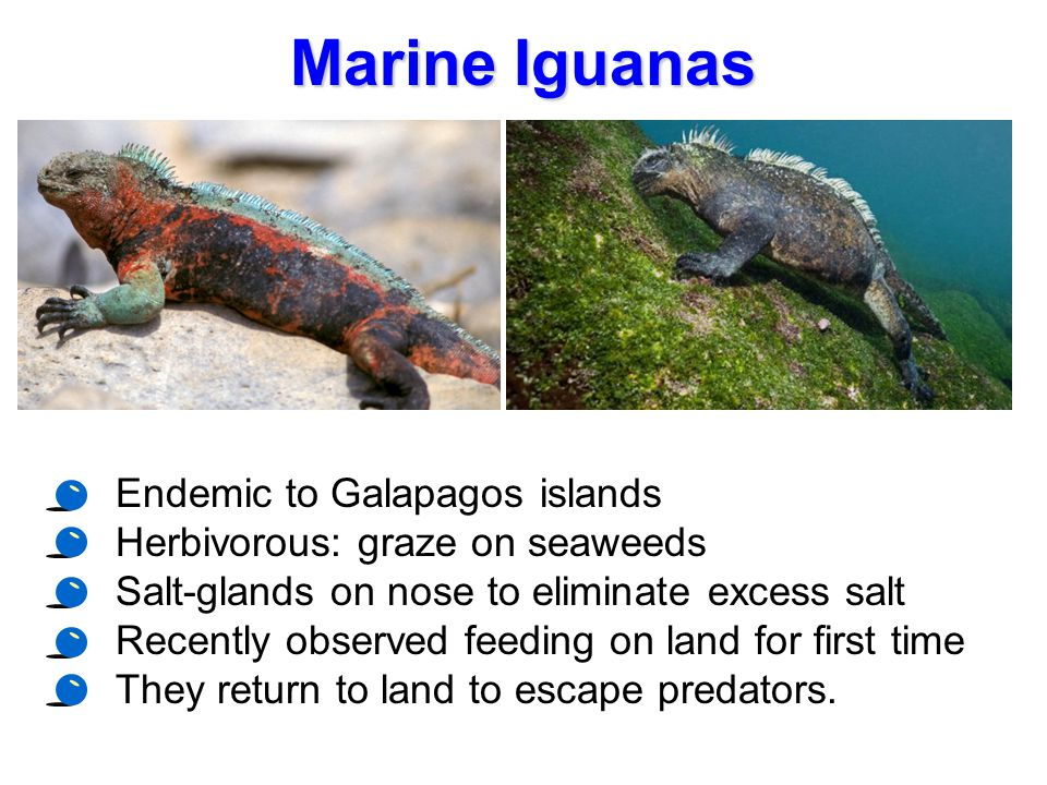 Marine Iguanas Endemic to Galapagos islands Herbivorous: graze on seaweeds Salt-glands on nose to eliminate excess salt Recently observed feeding on l