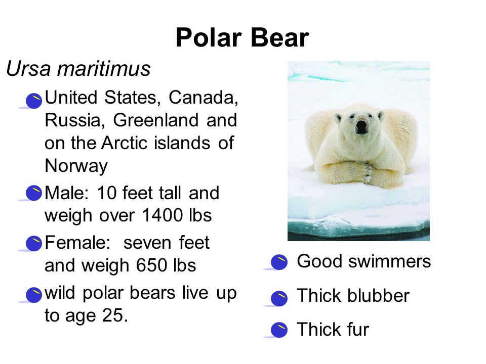 Polar Bear Ursa maritimus –United States, Canada, Russia, Greenland and on the Arctic islands of Norway –Male: 10 feet tall and weigh over 1400 lbs –F