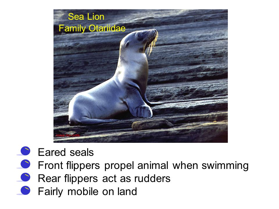 Sea Lion Family Otariidae Eared seals Front flippers propel animal when swimming Rear flippers act as rudders Fairly mobile on land