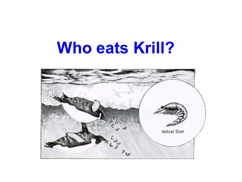 Krill & the Antarctic Food Web Critical components of Antarctic food webs