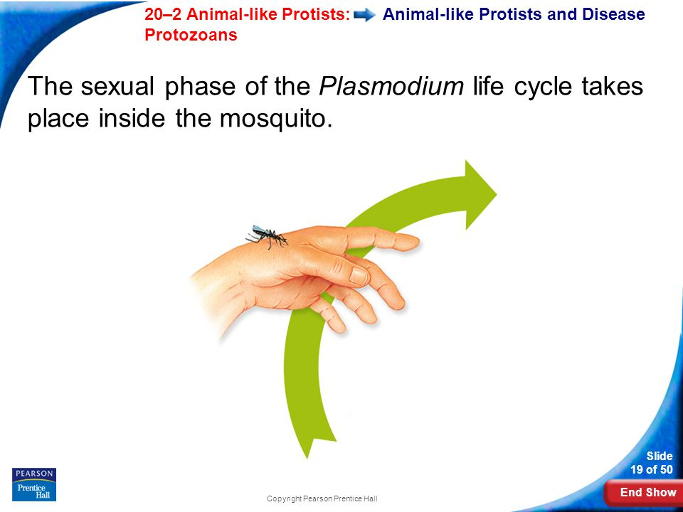 End Show 20–2 Animal-like Protists: Protozoans Slide 19 of 50 Copyright Pearson Prentice Hall Animal-like Protists and Disease The sexual phase of the Plasmodium life cycle takes place inside the mosquito.