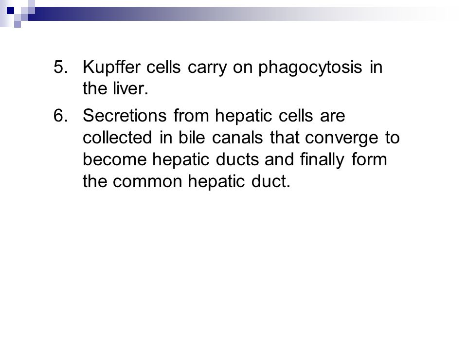 5.Kupffer cells carry on phagocytosis in the liver. 6.Secretions from hepatic cells are collected in bile canals that converge to become hepatic ducts