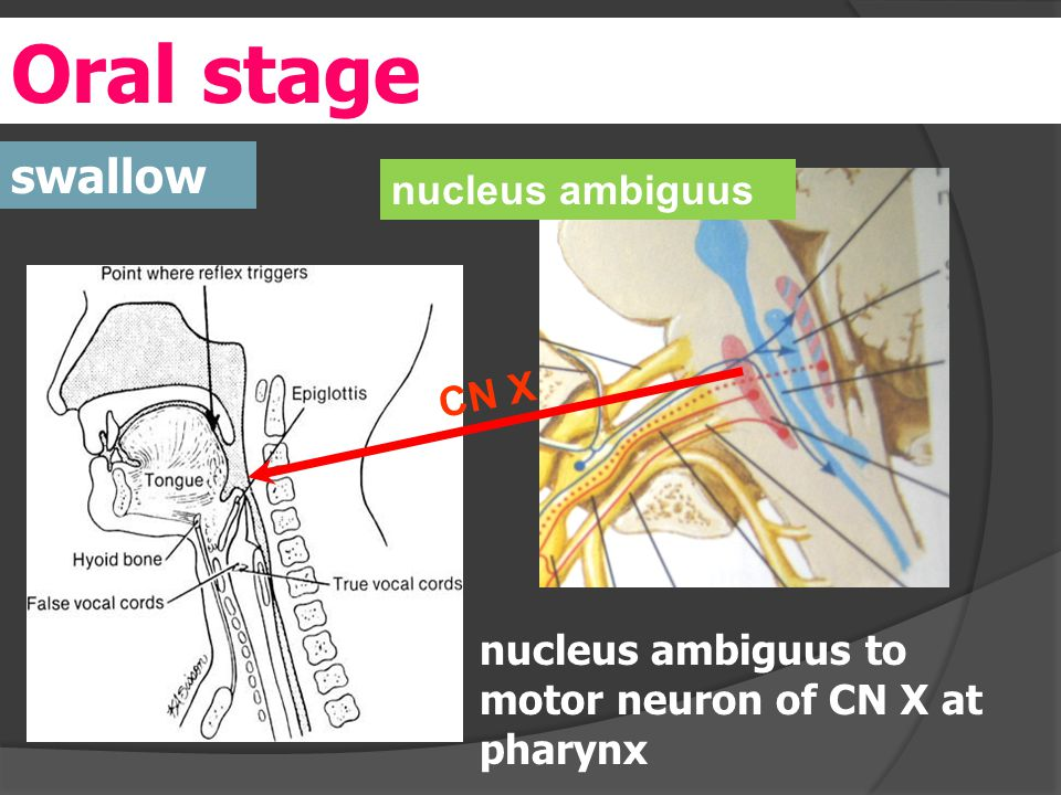 Oral stage swallow nucleus ambiguus to motor neuron of CN X at pharynx nucleus ambiguus CN X