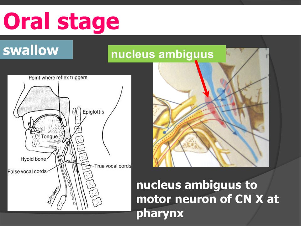 Oral stage swallow nucleus ambiguus to motor neuron of CN X at pharynx nucleus ambiguus