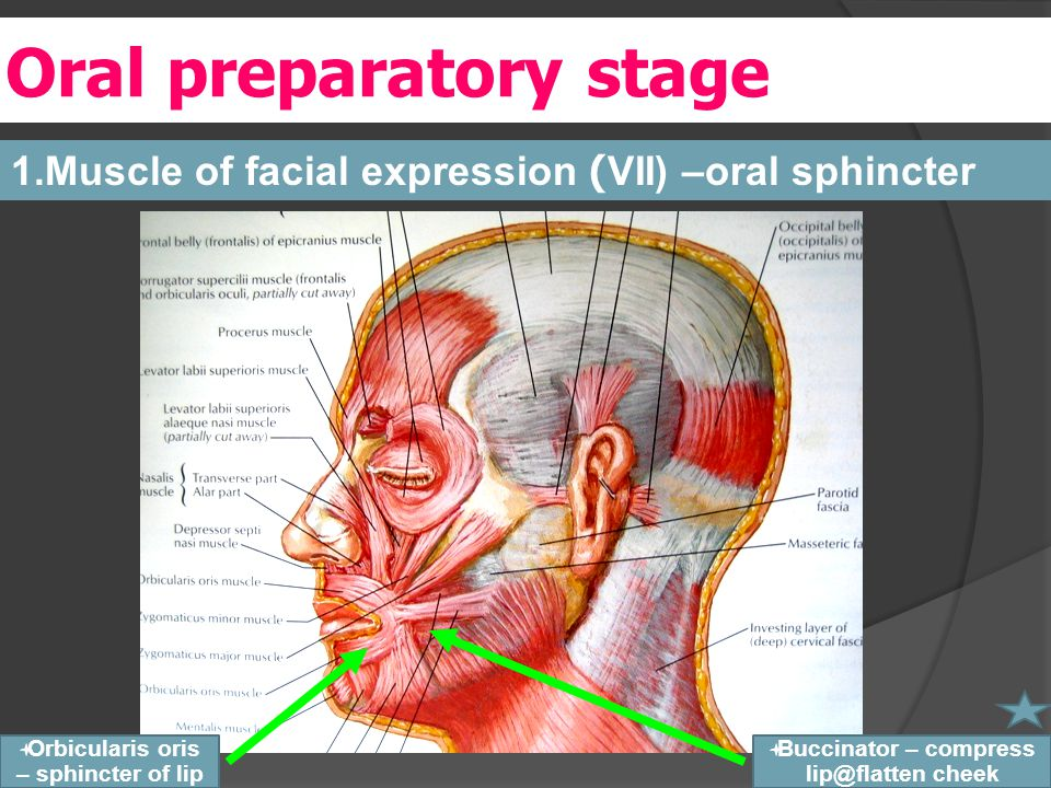 Oral preparatory stage 1.Muscle of facial expression (VII) –oral sphincter  Buccinator – compress lip@flatten cheek  Orbicularis oris – sphincter of lip