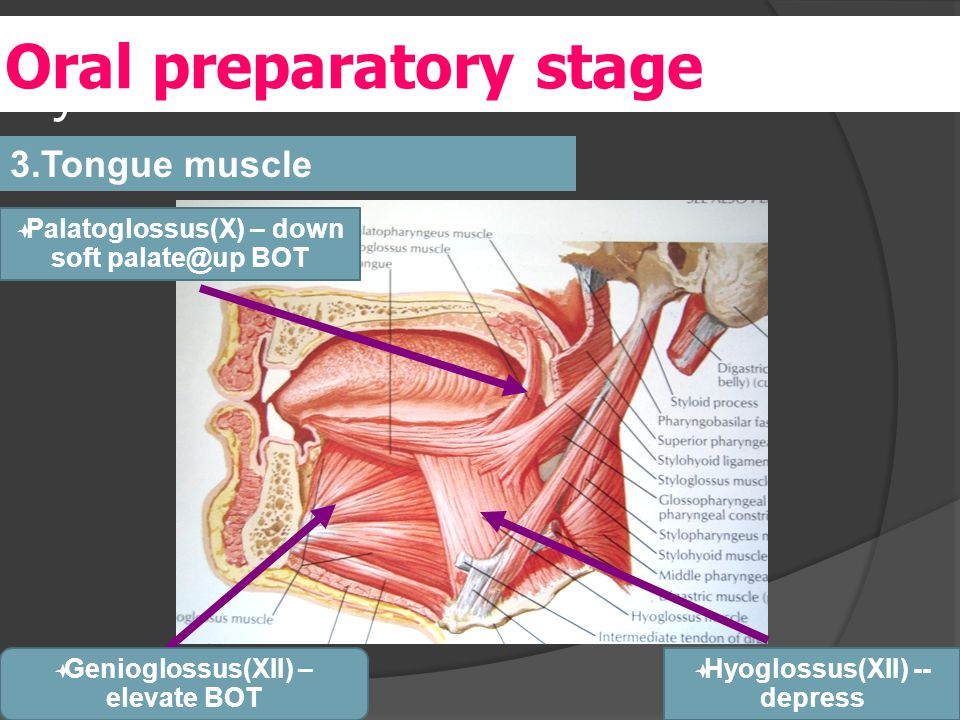 y 3.Tongue muscle Oral preparatory stage  Palatoglossus(X) – down soft palate@up BOT  Genioglossus(XII) – elevate BOT  Hyoglossus(XII) -- depress