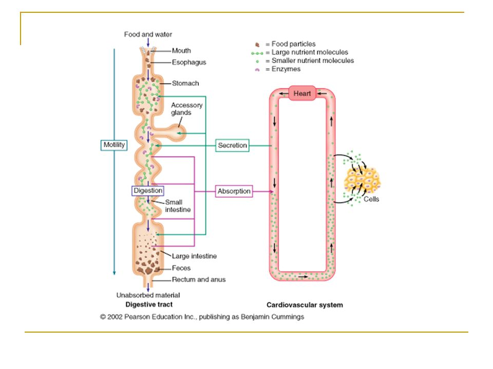Organs of the Gastrointestinal System The alimentary canal Continuous hollow tube extending from the mouth to the anus  Called the gastrointestinal (GI) tract as is passes inferior to diaphragm Functions:  Digestion  Absorption of digested fragments into blood