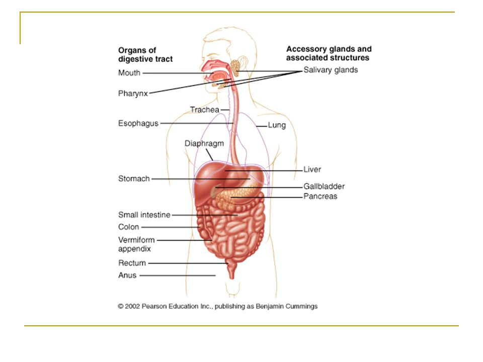 Organs of the Gastrointestinal System Accessory organs Assist in the chemical process of digestion by secreting saliva, enzymes, and bile  Salivary glands  Pancreas  Liver  Gallbladder Assist in the mechanical process of digestion  Teeth  Tongue