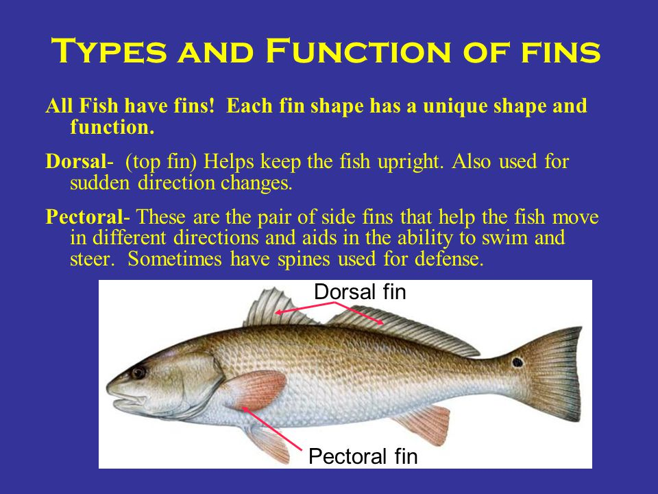 Types and Function of fins All Fish have fins! Each fin shape has a unique shape and function. Dorsal- (top fin) Helps keep the fish upright. Also use