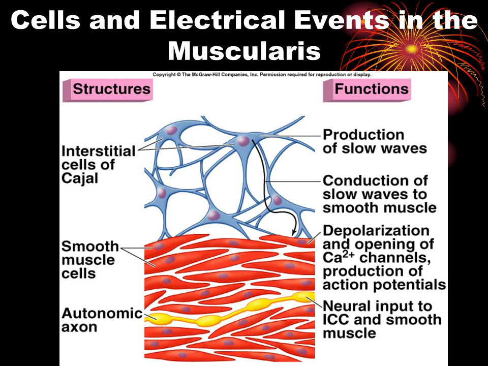 4 Cells and Electrical Events in the Muscularis Insert fig. 18.16