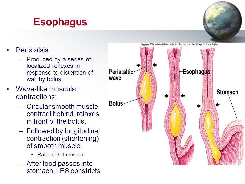 Esophagus Peristalsis: –Produced by a series of localized reflexes in response to distention of wall by bolus. Wave-like muscular contractions: –Circu