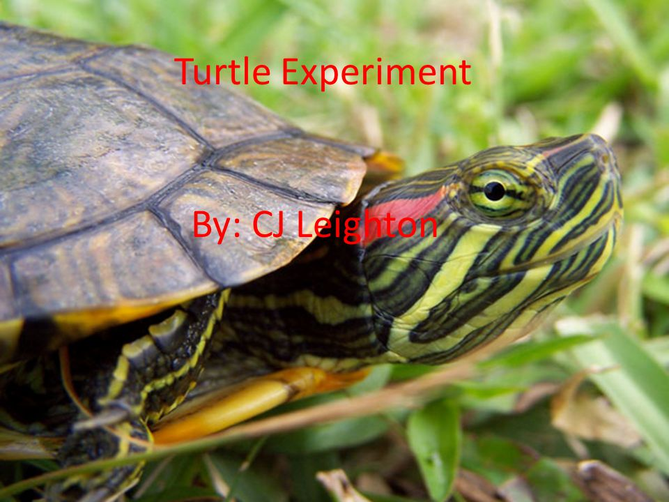 Turtle Experiment By: CJ Leighton Turtle Experiment By: CJ Leighton